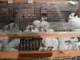 Гризуни Кролики, ціна 180 Грн., Фото