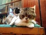 Кошки, котята Шотландская вислоухая, цена 400 Грн., Фото