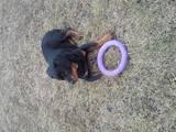 Собаки, щенята Ротвейлер, ціна 10 Грн., Фото