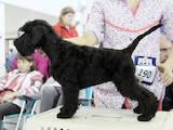 Собаки, щенята Цвергшнауцер, ціна 10000 Грн., Фото
