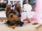 Собаки, щенята Йоркширський тер'єр, ціна 20000 Грн., Фото