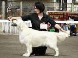 Собаки, щенки Лабрадор ретривер, цена 8000 Грн., Фото