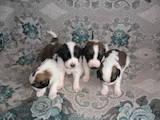 Собаки, щенки Московская сторожевая, цена 3500 Грн., Фото