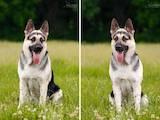 Собаки, щенята Східно-Європейська вівчарка, ціна 7500 Грн., Фото