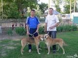 Собаки, щенята Естонський гончак, ціна 2800 Грн., Фото