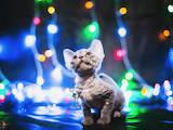 Кошки, котята Девон-рекс, цена 14340 Грн., Фото