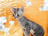 Кішки, кошенята Девон-рекс, ціна 15000 Грн., Фото