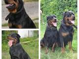 Собаки, щенята Ротвейлер, ціна 5500 Грн., Фото