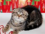 Кошки, котята Шотландская вислоухая, цена 5000 Грн., Фото