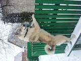 Собаки, щенята Західно-Сибірська лайка, ціна 350 Грн., Фото