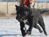 Собаки, щенки Кане Корсо, цена 41285 Грн., Фото