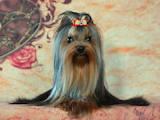 Собаки, щенки Йоркширский терьер, цена 30000 Грн., Фото