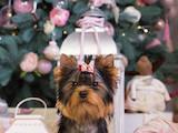 Собаки, щенки Йоркширский терьер, цена 20000 Грн., Фото
