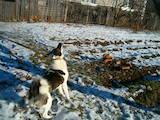 Собаки, щенята Західно-Сибірська лайка, ціна 2200 Грн., Фото