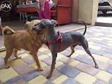 Собаки, щенята Російський гладкошерстий тойтерьер, ціна 5500 Грн., Фото