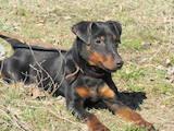 Собаки, щенки Ягдтерьер, цена 7000 Грн., Фото