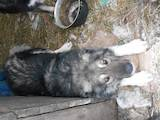 Собаки, щенята Кавказька вівчарка, ціна 5500 Грн., Фото