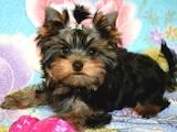 Собаки, щенки Йоркширский терьер, цена 14000 Грн., Фото