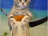 Кошки, котята Шотландская короткошерстная, цена 7000 Грн., Фото