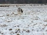 Собаки, щенята Західно-Сибірська лайка, ціна 5000 Грн., Фото
