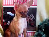 Собаки, щенята Чихуа-хуа, ціна 8500 Грн., Фото