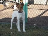 Собаки, щенята Гладкошерста фокстер'єр, ціна 600 Грн., Фото