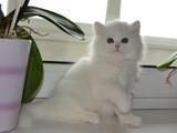 Кішки, кошенята Шотландська висловуха, ціна 14000 Грн., Фото