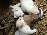 Собаки, щенята Акіта-іну, ціна 1500 Грн., Фото