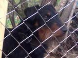 Собаки, щенята Ягдтер'єр, ціна 809 Грн., Фото