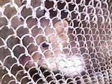 Животные Фретки, хорьки, цена 700 Грн., Фото
