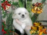 Собаки, щенята Пекінес, ціна 2200 Грн., Фото