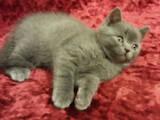 Кошки, котята Шотландская короткошерстная, цена 1300 Грн., Фото