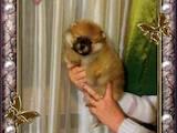 Собаки, щенки Померанский шпиц, цена 13000 Грн., Фото