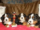 Собаки, щенята Гірський собака Берна, ціна 5500 Грн., Фото