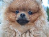 Собаки, щенки Померанский шпиц, цена 26000 Грн., Фото