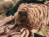 Кошки, котята Шотландская вислоухая, цена 10 Грн., Фото
