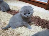 Кішки, кошенята Шотландська висловуха, ціна 2200 Грн., Фото