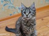Кошки, котята Мэйн-кун, цена 3900 Грн., Фото