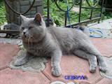 Кошки, котята Британская короткошерстная, цена 350 Грн., Фото