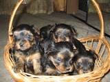 Собаки, щенята Йоркширський тер'єр, ціна 5500 Грн., Фото