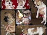 Собаки, щенята Чихуа-хуа, ціна 3300 Грн., Фото