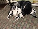 Собаки, щенки Русский спаниель, цена 1300 Грн., Фото