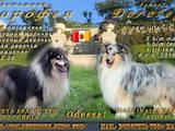 Собаки, щенки Длинношерстный колли, цена 10000 Грн., Фото