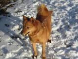 Собаки, щенята Східно-сибірська лайка, ціна 2200 Грн., Фото