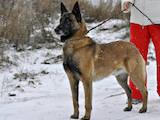 Собаки, щенки Бельгийская овчарка (Малинуа), цена 8000 Грн., Фото