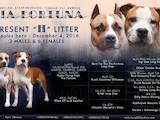 Собаки, щенки Американский стаффордширский терьер, цена 22000 Грн., Фото