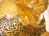 Кішки, кошенята Шотландська висловуха, ціна 2500 Грн., Фото