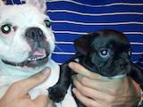 Собаки, щенята Французький бульдог, ціна 3000 Грн., Фото