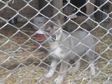 Собаки, щенки Западно-Сибирская лайка, цена 3000 Грн., Фото