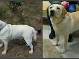 Собаки, щенки Лабрадор ретривер, цена 11100 Грн., Фото